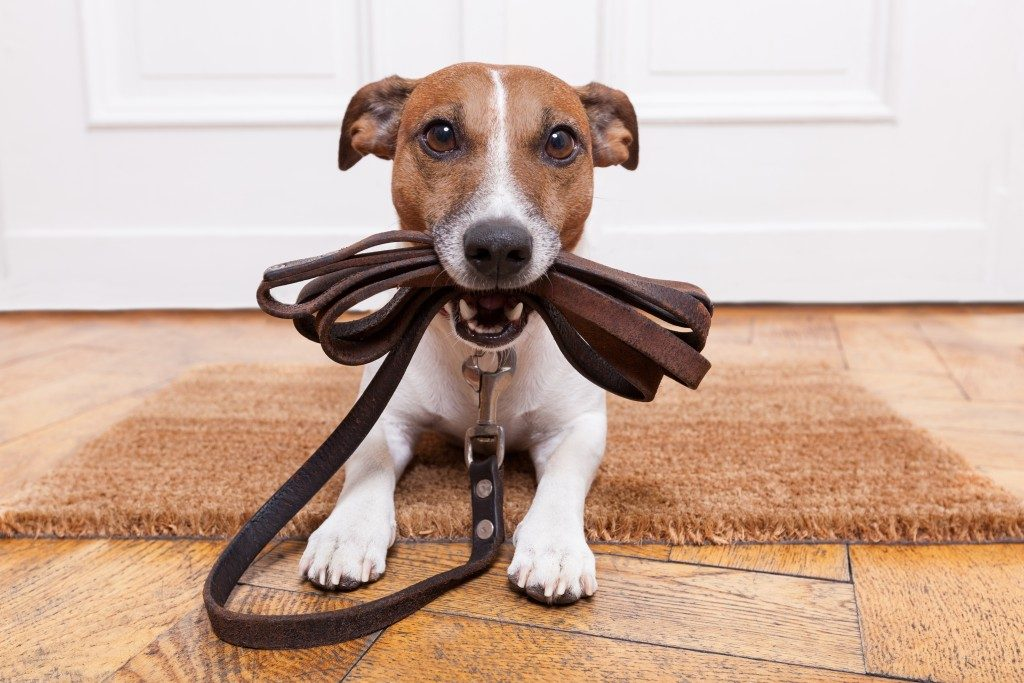 dog with leather leash waiting to go walking